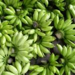 Aprenda a fazer biomassa de banana verde